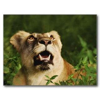 Lioness big cat digital photography poster