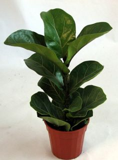 Fiddleleaf Fig Tree   Ficus   Great Indoor Tree   Easy   Potted