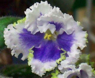 African Violet Plant Sea Foam Tropical Garden Indoor Flower