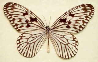 HUGE WHITE DELICATE REAL BUTTERFLY ALSO KNOWN AS THE RICE PAPER