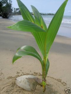 Live Tropical Coconut Palm Tree 2 Feet in Outdoor Plant