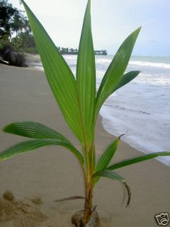 Live Tropical Coconut Palm Tree 3 Feet in Outdoor Plant