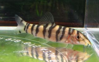 Sergeant Major loach Live Freshwater Aquarium Fish