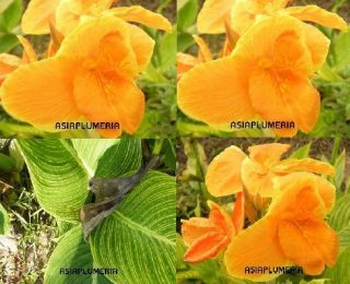LIVE PLANTS CANNA LILY ORANGE YELLOW RIM BI COLOR LEAF FRESH Free
