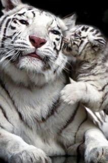 Las Vegas Siegfried Roy Tigers Panthers SECRET GARDEN DOLPHIN HABITAT