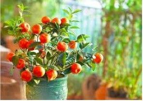 Chinese Golden Orange Fruit 8 Fresh Seeds Good Luck Tree