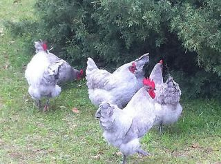 Newly listed Lavender Orpington 10+ ***Pure*** Hatching Eggs