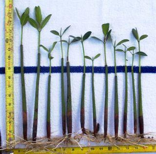 MANGROVE SALTWATER AQUARIUM REEF TANK CORAL FILTRATION PLANTS