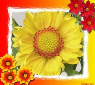 BLANKET GAILLARDIA YELLOW BLANKET FLOWER FIREWHEEL 40 SEEDS AL1985SC